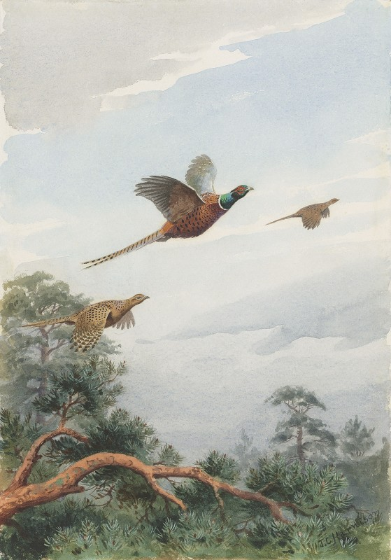 John Cyril Harrison , Topping the firs, Pheasants