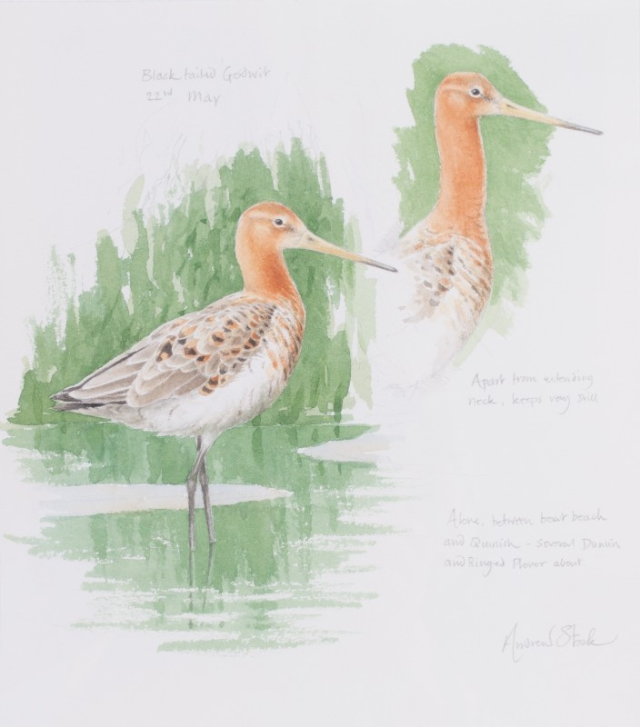 Black-tailed godwit studies