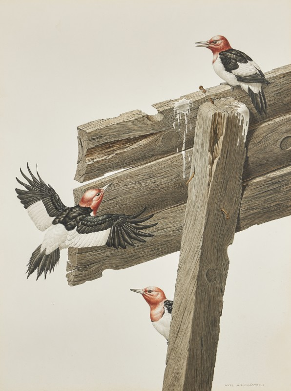 Axel Amuchastegui , Red-headed Woodpeckers