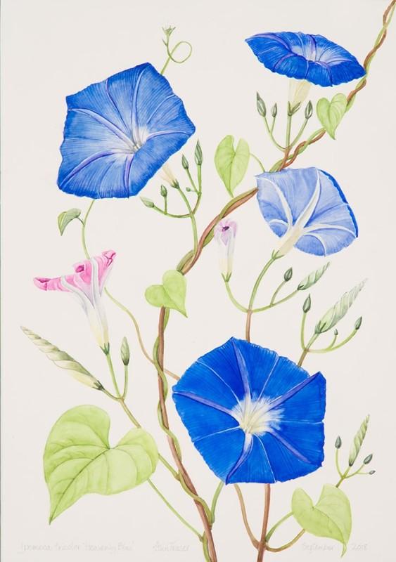 Ann Fraser , Morning Glory 'Heavenly Blue'
