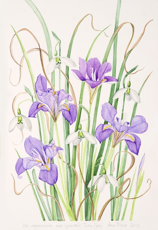 Ann Fraser , Iris unguicularis with Galanthus 'John Gray'