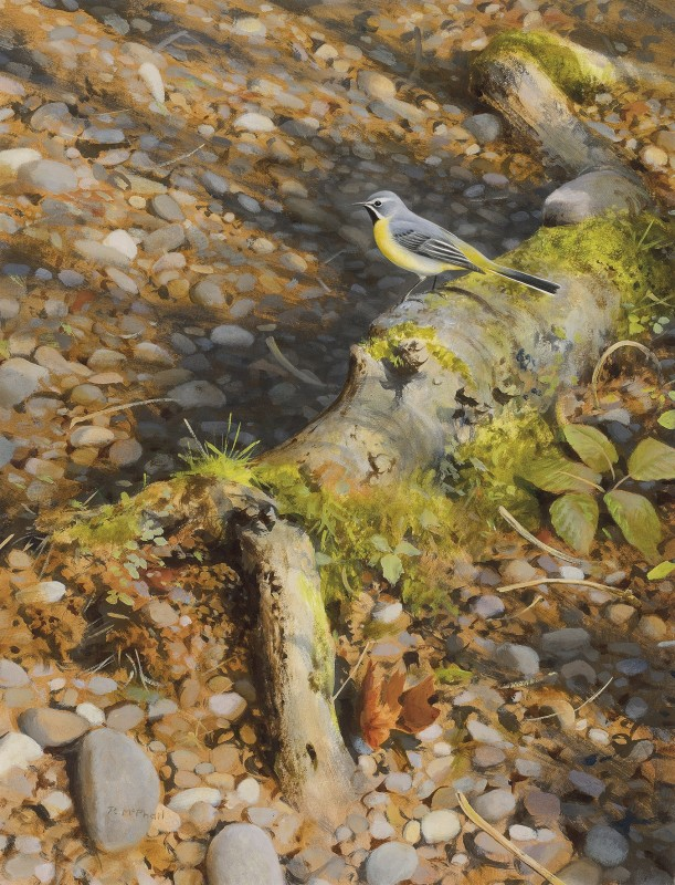 Rodger McPhail , Grey Wagtail