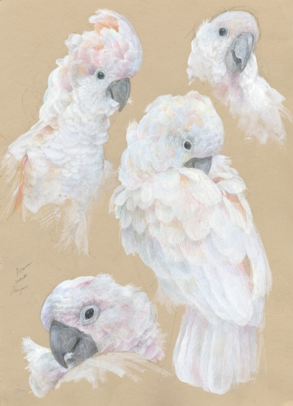 Moluccan Cockatoo studies