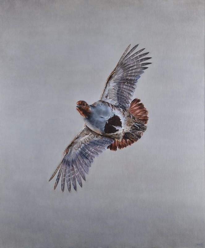 Grey partridge in flight