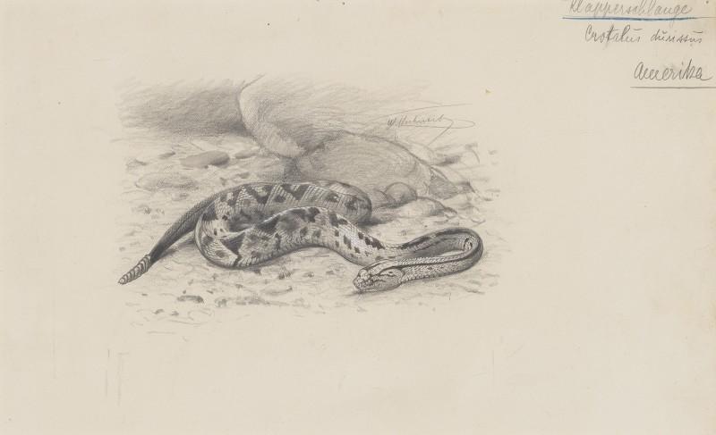 Wilhelm Kuhnert , North American Rattlesnake