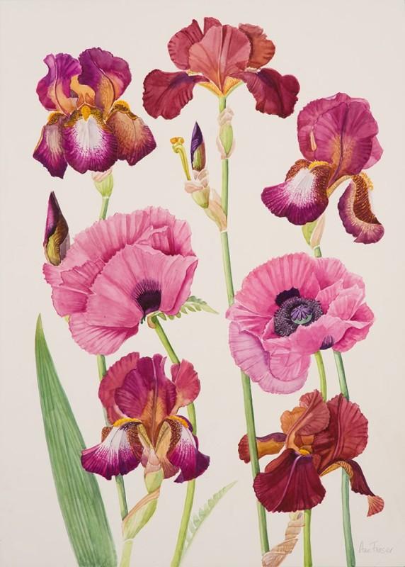 Ann Fraser , Oriental Poppies 'Patties Plum' with Brown Iris