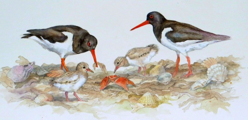 Oystercatchers and young