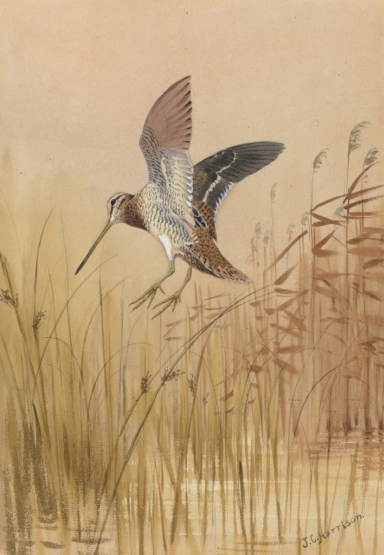 John Cyril Harrison , Snipe dropping into the rushes