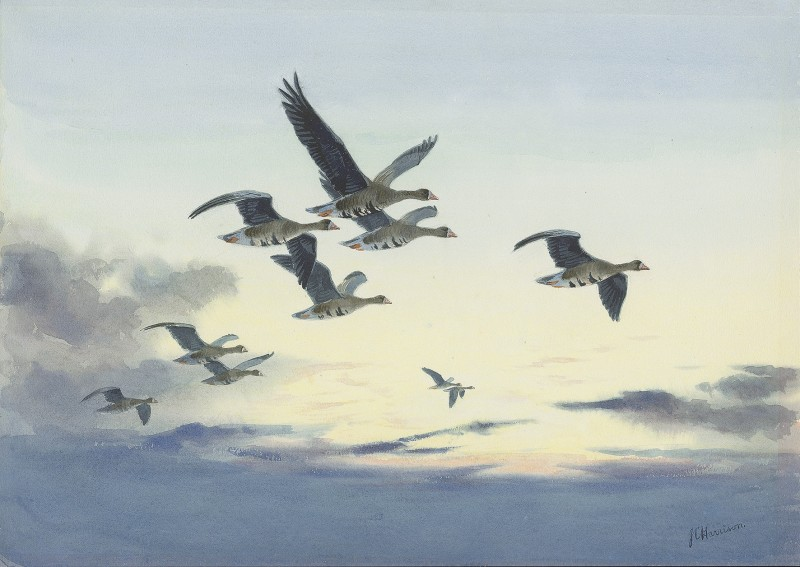 John Cyril Harrison , White-fronted Geese