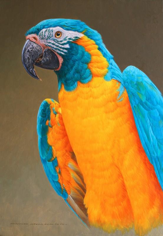 Caninde Macaw