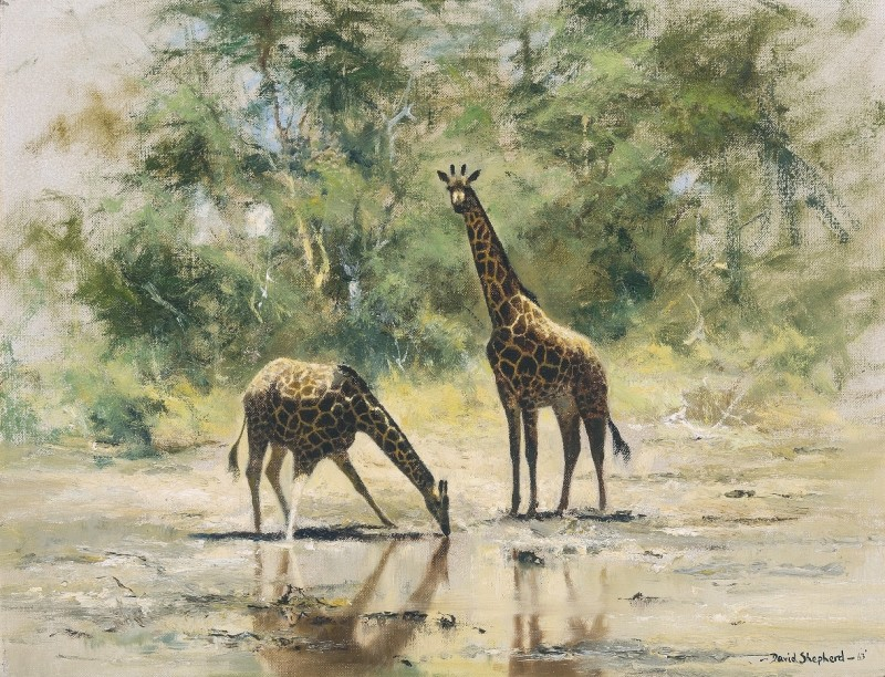 The watering hole, Giraffes