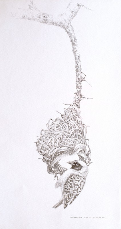 Weaver sketch