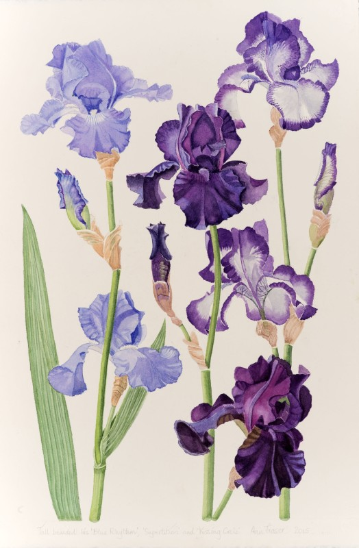Iris 'Blue Rhythm', 'Superstition' and 'Kissing Circle'