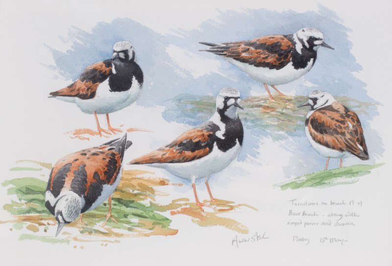 Turnstone studies