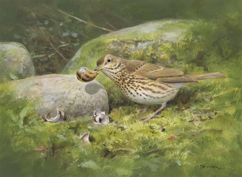 Rodger McPhail , Song Thrush with Snail