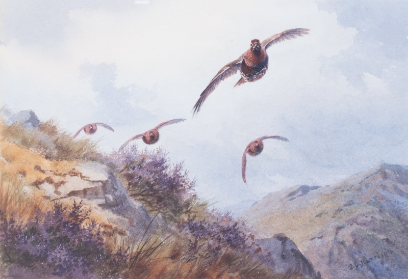 Grouse flying over moorland