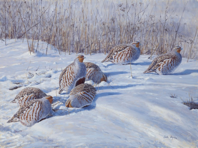 Justin Prigmore , Winter shadows, Grey Partridge
