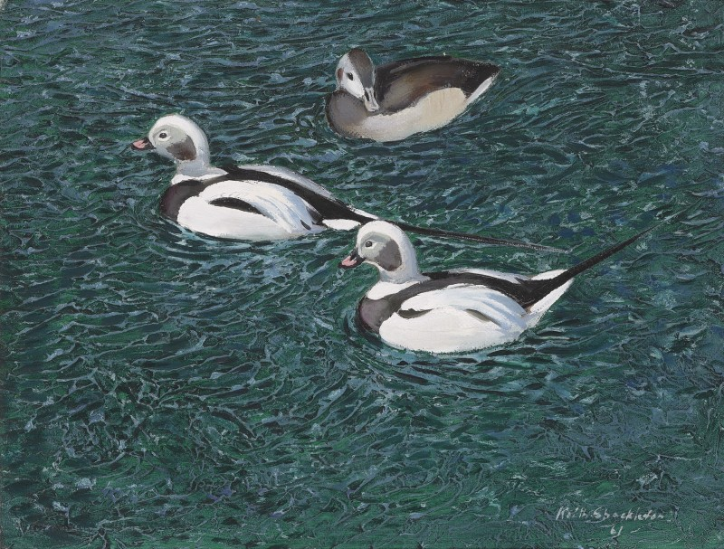 Icelandic ducks