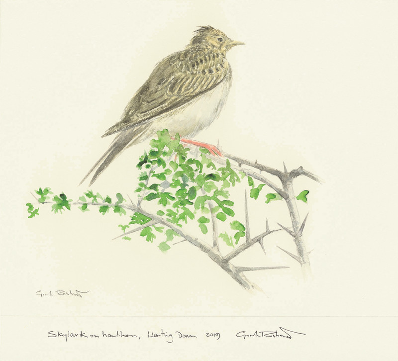 Skylark on Hawthorn, Harting Down