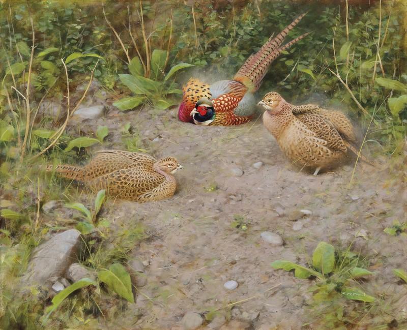Rodger McPhail , Pheasants dusting