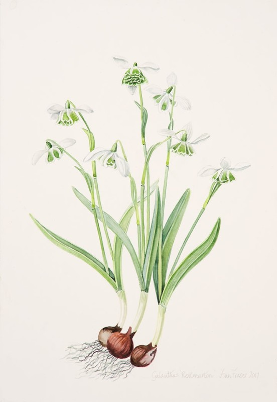 Galanthus 'Rodmartin'