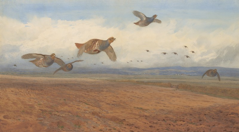 Archibald Thorburn , Grey Partridge in flight