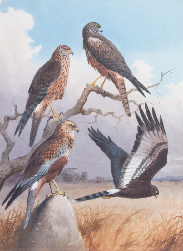 Marsh and African black harriers