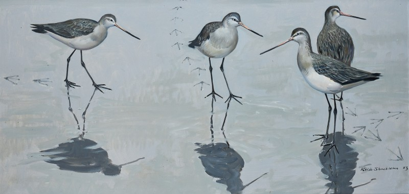 Encounter on the mud: Black-tailed Godwits