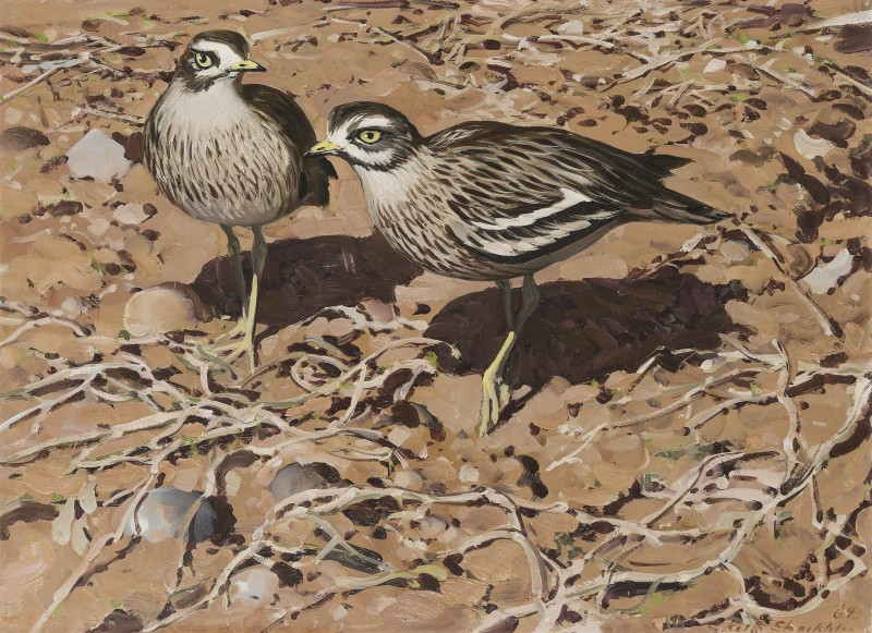Keith Shackleton , Stone curlews in the Breckland