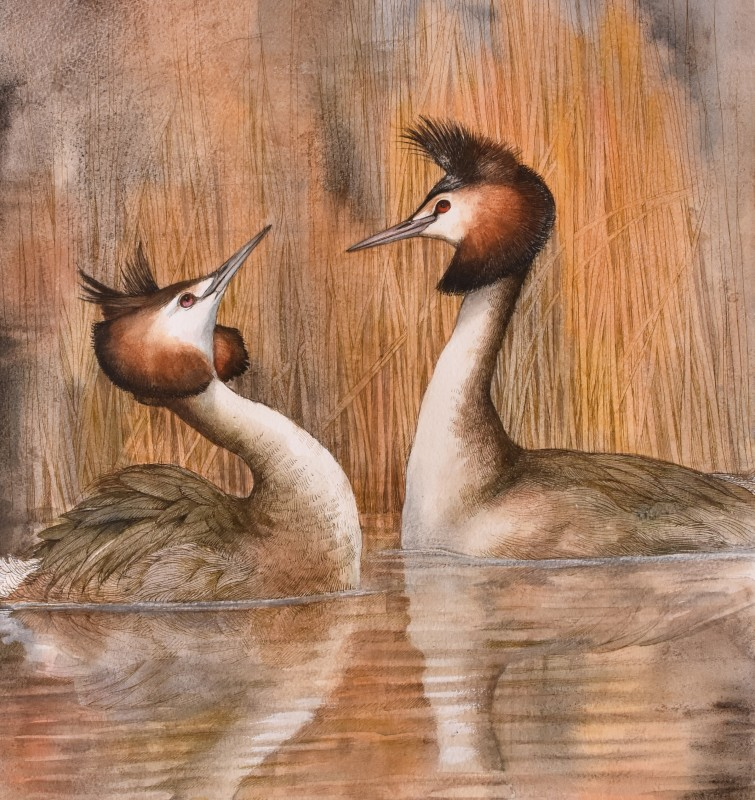 Great-crested Grebe in reeds