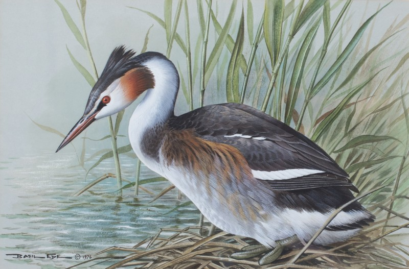 Basil Ede , Great crested grebe