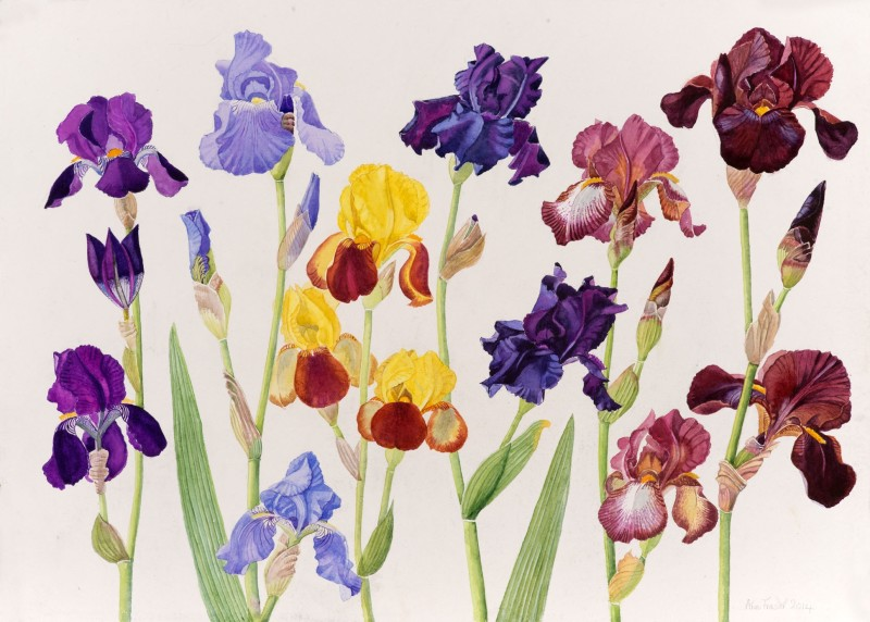 Mixed Tall Bearded Iris