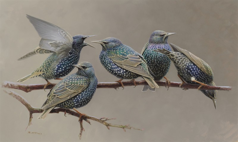 Rodger McPhail , Starlings