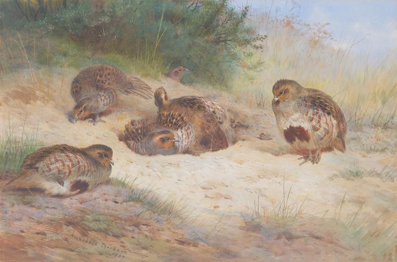 Grey Partridge basking