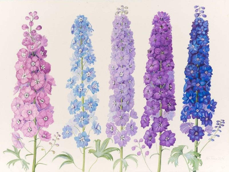 Ann Fraser , Mixed Delphiniums