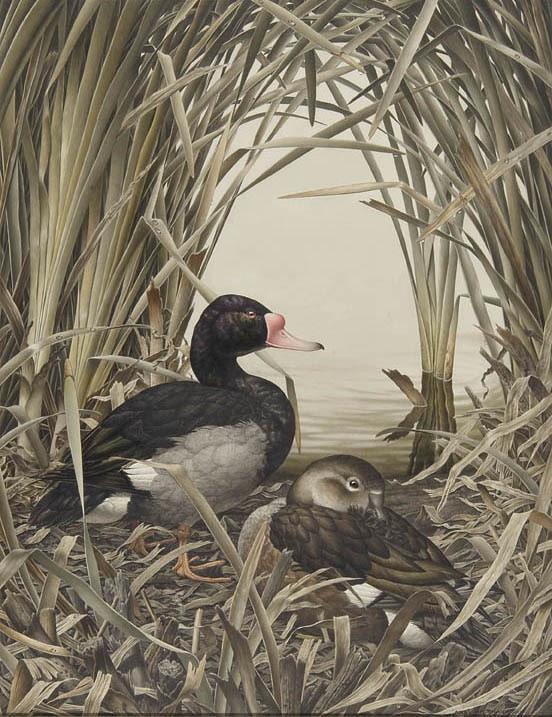 Rosy-billed ducks