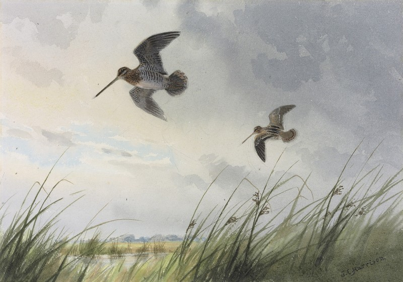 John Cyril Harrison , Snipe over the marshes