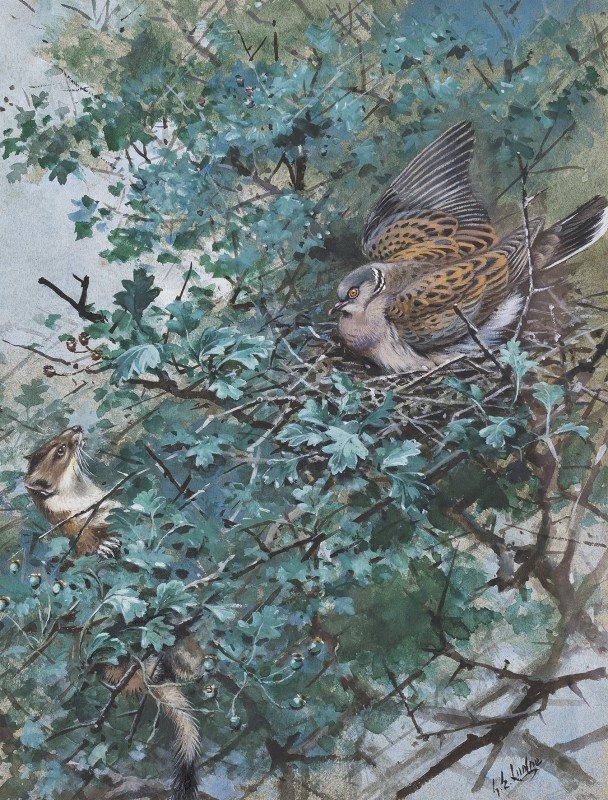 George Edward Lodge , Stoat and turtle dove
