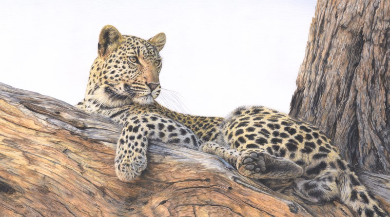 Leopard in a tree - the lookout