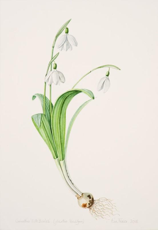 Ann Fraser , Galanthus 'E.A. Bowles'