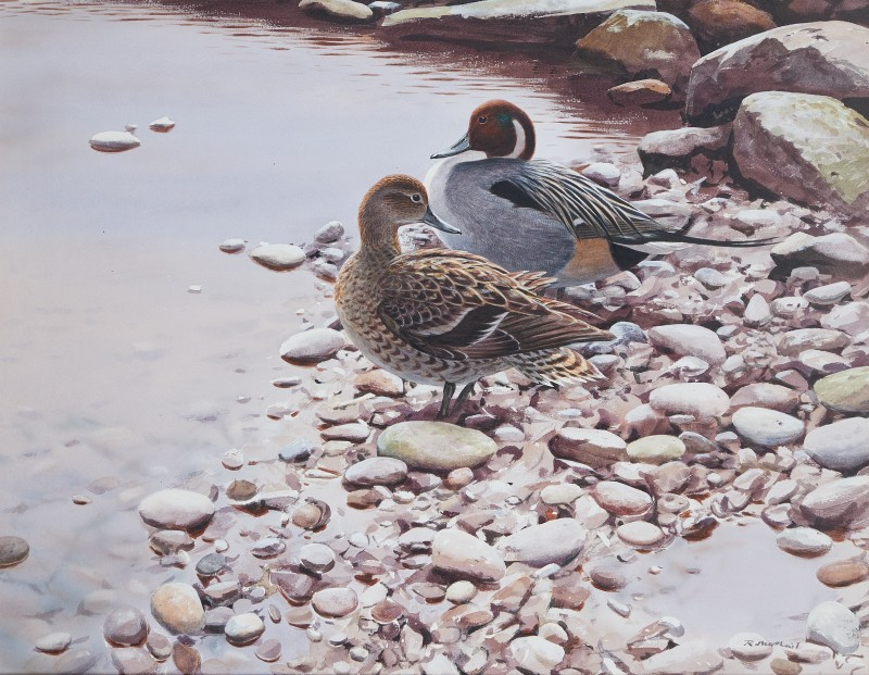Pintail on pebbles