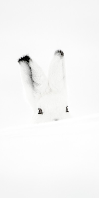 Vincent Munier, PORTRAIT OF AN ARCTIC HARE, FROM THE SOLITUDES SERIES, CANADA, 2009