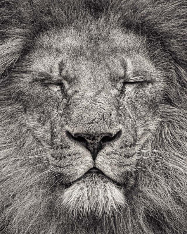 Paul Coghlin, PEACE - PORTRAIT OF AFRICAN LION II, 2016