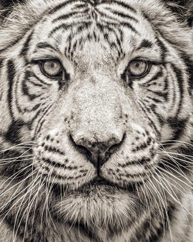 Paul Coghlin, PORTRAIT OF WHITE BENGAL TIGER, 2016