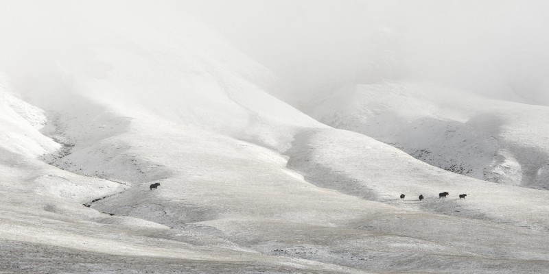 Vincent Munier, WILD YAKS, FROM THE SOLITUDES SERIES, TIBET, 2012
