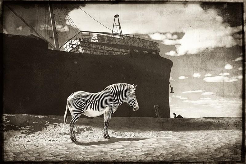 Jan Gulfoss, ZEBRA IN FRONT OF A SHIPWRECK