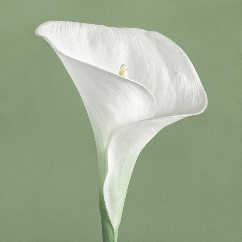 Paul Coghlin, CALLA LILY III, FROM THE SERIES CHROMA I, 2014