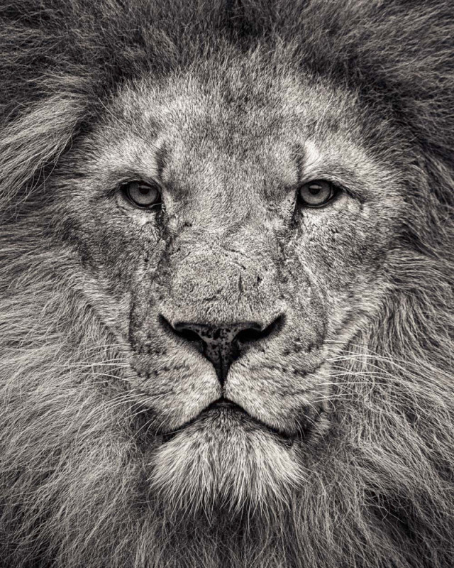Paul Coghlin, PORTRAIT OF AFRICAN LION, 2016