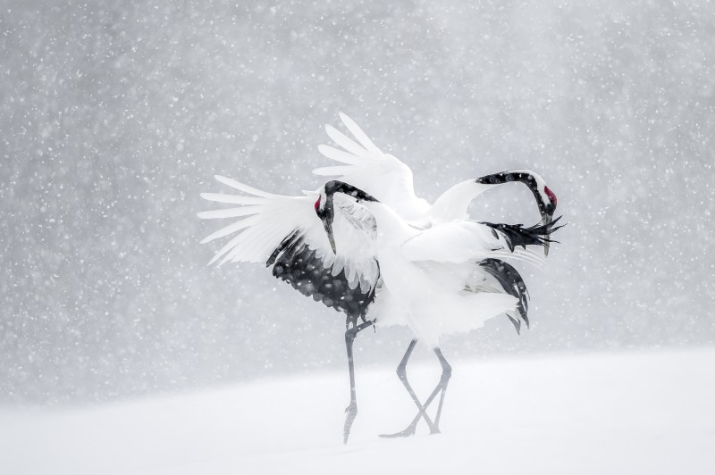 Vincent Munier, MATING DANCE OF RED-CROWNED CRANES, JAPAN, 2010