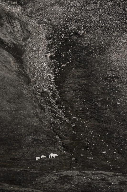 Vincent Munier, THREE POLAR BEARS, SPITSBERGEN, 2013